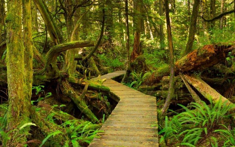 Boardwalk through lush rainforest Pacific Rim bc