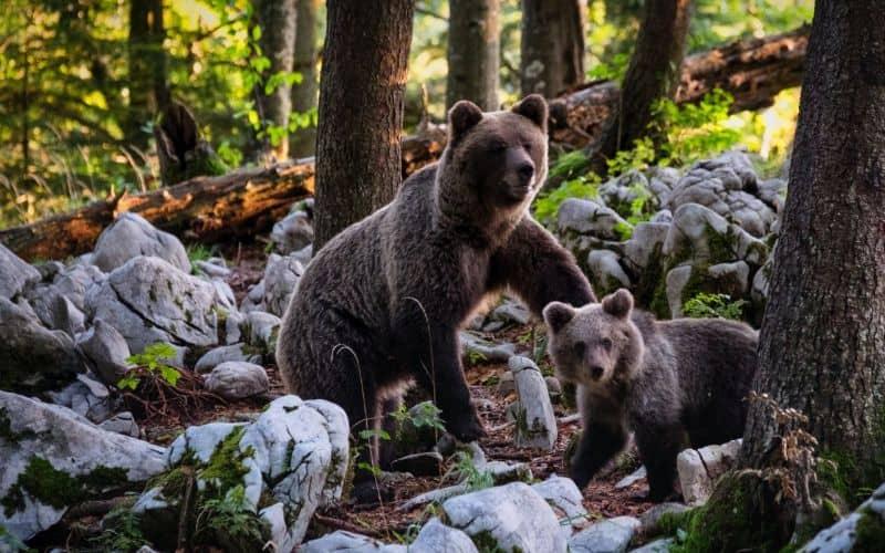 bear and cub tofino SP