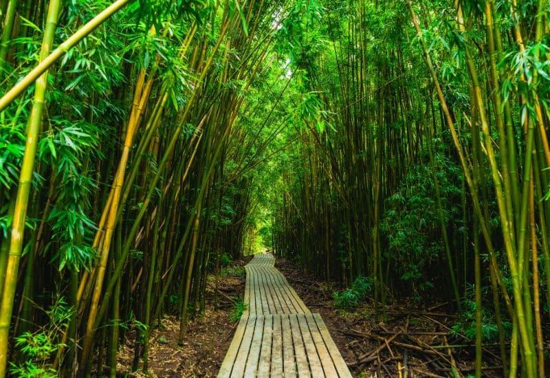 pipiwai trail bamboo forest maui sp
