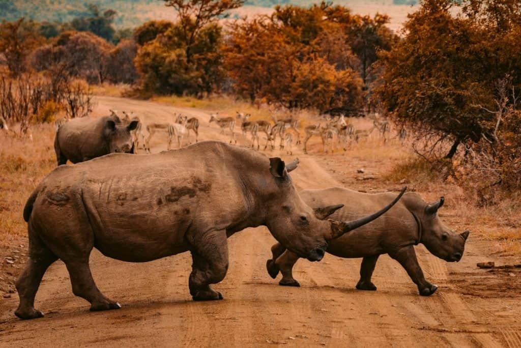 south africa rhinos sp